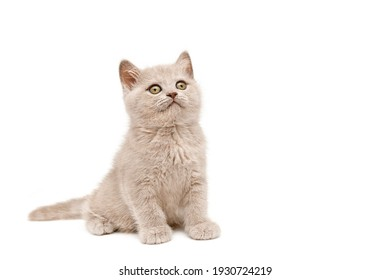 British kitten looks up while sitting on a white background.