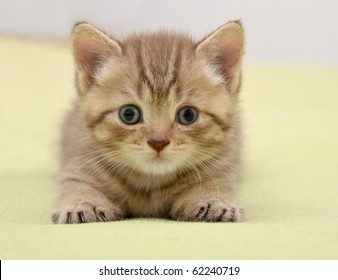 British kitten lying on green background