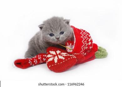 British kitten with mittens on a white background.