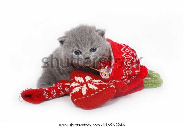 British Kitten Mittens On White Background Stock Photo Edit Now 116962246 Search, discover and share your favorite kitten mittens gifs. shutterstock