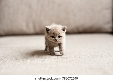 British kitten on the couch. British lilac kitten. The British lilac kitten looks forward. Very beautiful British lilac kitten.