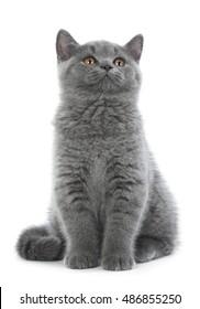 British kitten on white background in Studio