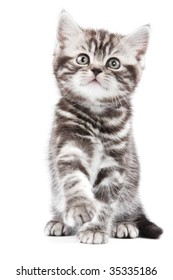 British kitten on white backgrounf