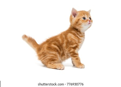 British kitten is orange in color very surprised and looking up, isolated on white