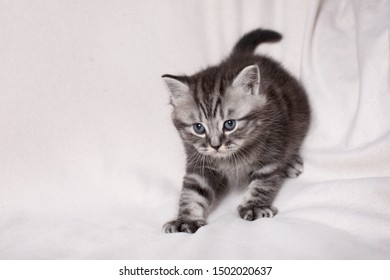 British kitten playing on a light background