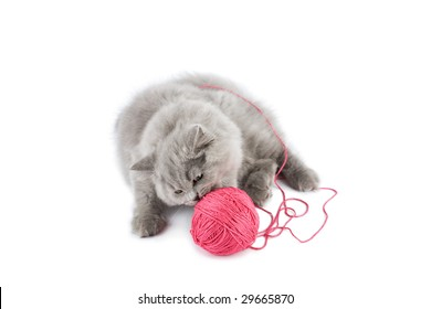 british kitten playing with pink clew isolated