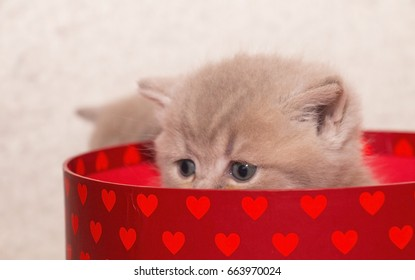 the British kitten in a red box with hearts