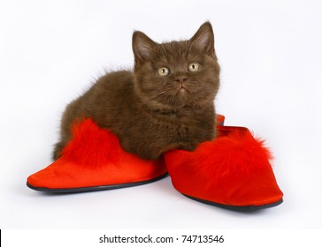 British kitten with red shoes on a white background.