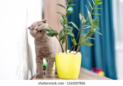 british kitten standing on it's paws eating green plant
