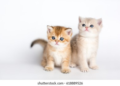 British kittens gold, blue gold on a white background
