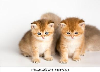 British kittens golden chinchilla on a white background