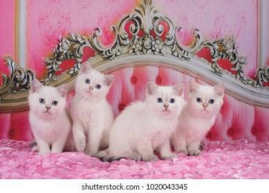 British kittens on a pink bed