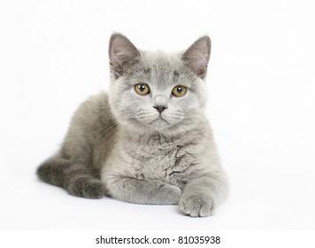 British kittens on white background