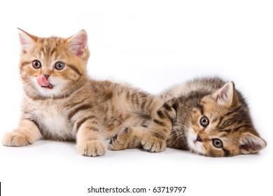 British kittens on white backgrounds