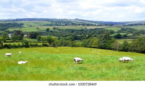 British Landscape in Summer, Dartmoor National Park, Devon. Flock of sheep present on green grass.