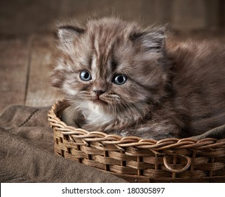 British long hair kitten in a basket