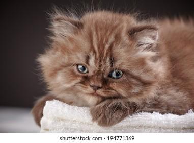british long hair kitten sleeping on a white towel