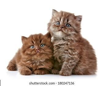 British long hair kittens, 5 weeks old