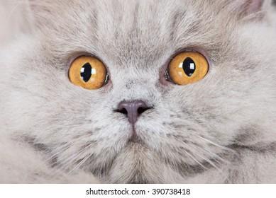 british longhair cat face close up