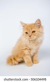 British longhair cat, kitten, red, isolated, photo studio