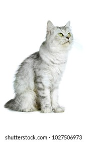 British longhair cat looking up isolated on white background