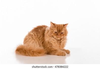 British Longhair Cat Lying on the white desk.