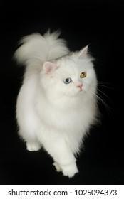 British longhair cat on black background