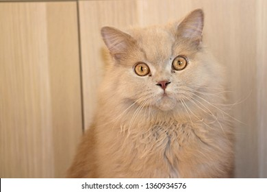 british longhair cream cat wallpaper