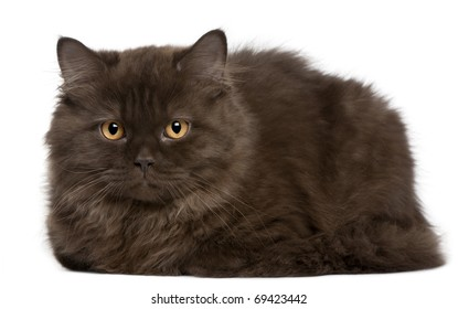 British Longhair kitten, 3 months, lying in front of white background