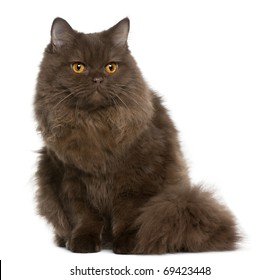 British Longhair kitten, 5 months old, sitting in front of white background