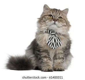 British Longhair kitten wearing a tie, 3 months old, sitting in front of white background
