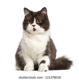 British longhair sitting against white background