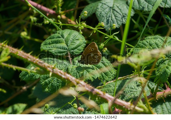 British Meadow Brown Ringlet Butterfly