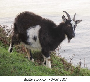 British Native Goat (Capra aegagrus hircus) on a Cliff Face at Lynton on the North Coast of Devon, England, UK