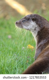 British otter cropped looking left with soft focus green grass background