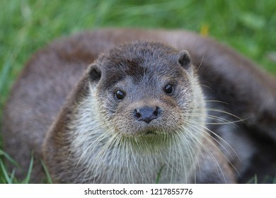 British otter front facing with soft focus body behind and grass background