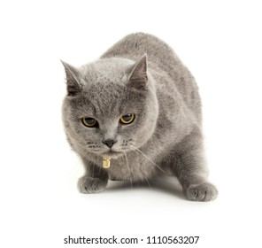 British pretty grey shorthair cat isolated on white background