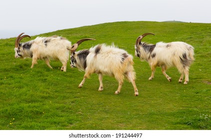 British Primitive goat breed feral with large horns and beard white grey and black in field