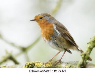 A British Robin