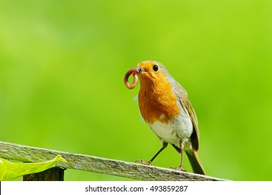 British Robin, Erithacus rubecula, single bird with beak full of grubs sitting on garden fence in a Cotswold garden, Painswick, Gloucestershire, England, United kingdom