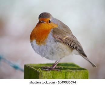 British robin portrait