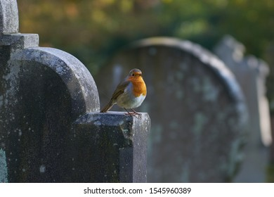 British Robin Red Breast Singing, perched on a Gravestone