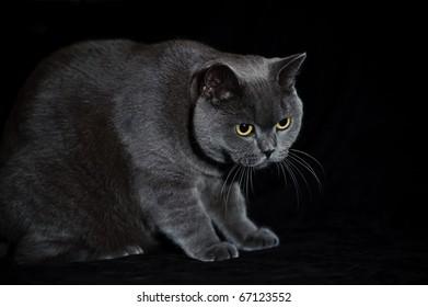 A british short hair cat