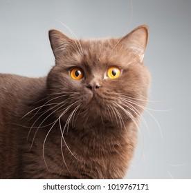 British short hair cat, chocolate color, portrait, studio