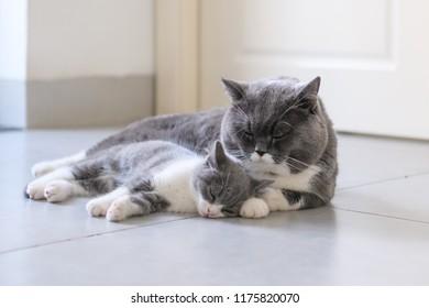 British short hair cat Daddy and Kitten