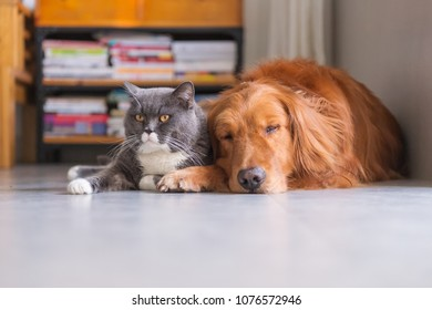British short hair cat and golden retriever friendly to get along