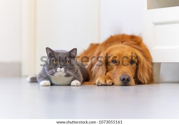 British Short Hair Cat Golden Retriever Stock Photo (Edit