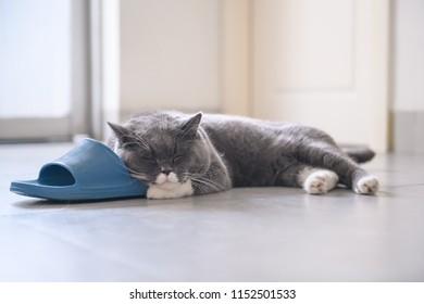 British short hair cat holding slippers