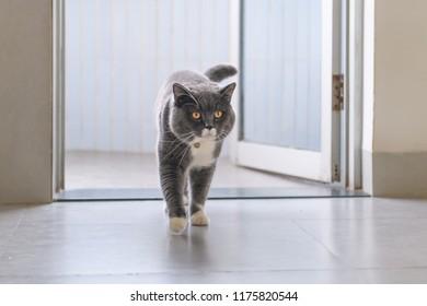 British short hair cat, indoor shooting