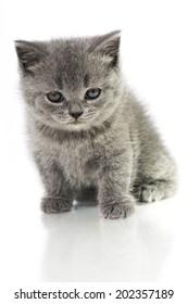 British short hair cat isolated on white